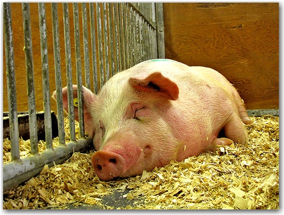 pig, royal agricultural winter fair, livestock, animals, farms, fair, fall, winter, sty, toronto, city, life