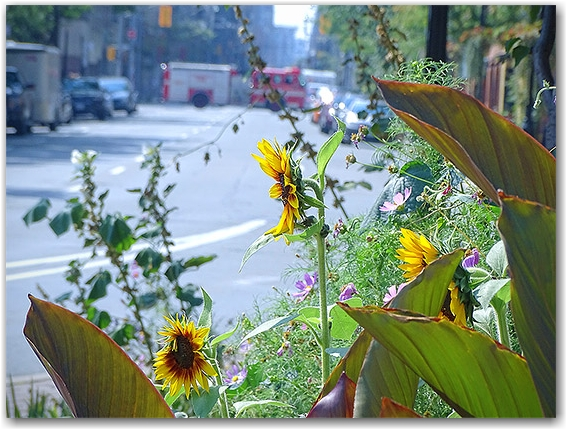 sunflowers @ jarvis and richmond