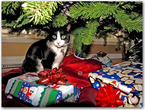 cat, christmas tree, gifts, presents, toronto, city, life