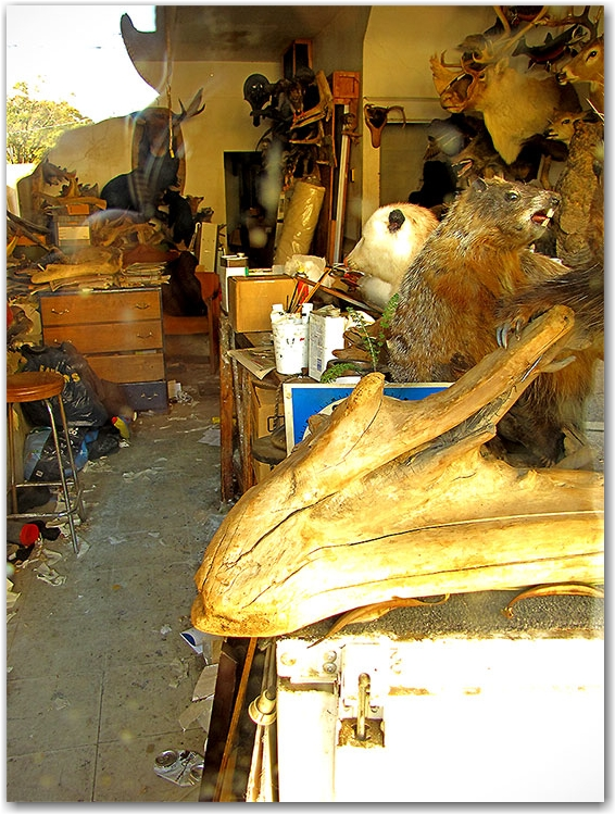 mountain lion taxidermy studio, bayview avenue, toronto, city, life