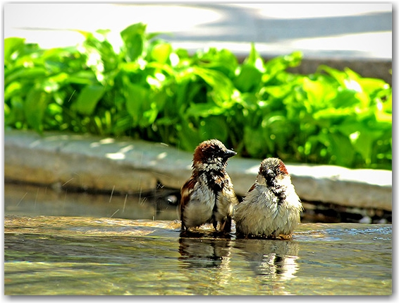 bathing birds, pond, peace garden, nathan phillips square, toronto, city, life