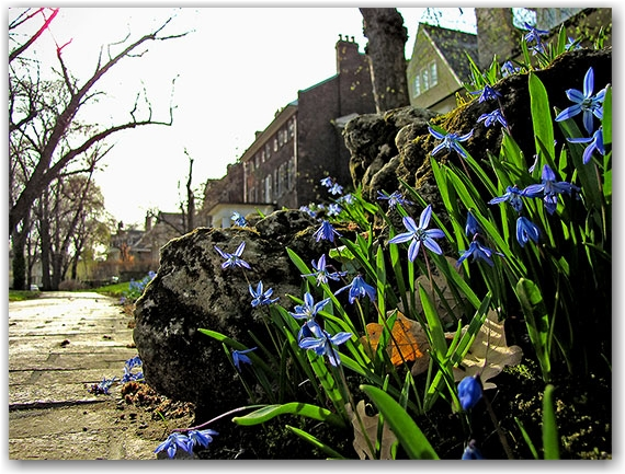 rosedale, sidewalk, historic houses, flowers, blooms, buds, toronto, city, life