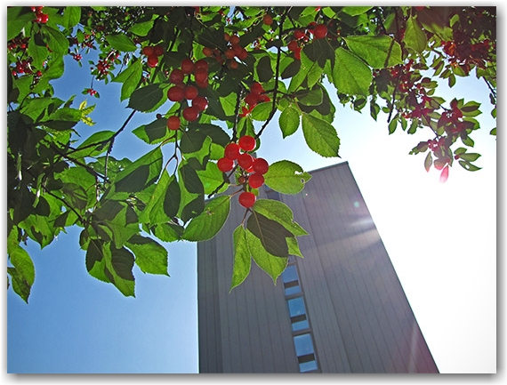 street cherries