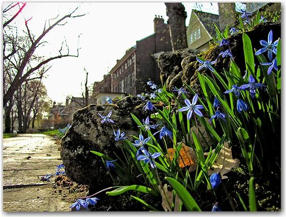 rosedale, sidewalk, historic houses, flowers, blooms, buds, toronto, city, life