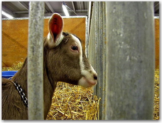goat, royal agricultural winter fair, livestock, animals, farms, fair, fall, winter, sty, toronto, city, life