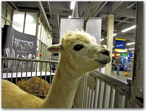 alpaca, royal agricultural winter fair, livestock, animals, farms, fair, fall, winter, sty, toronto, city, life
