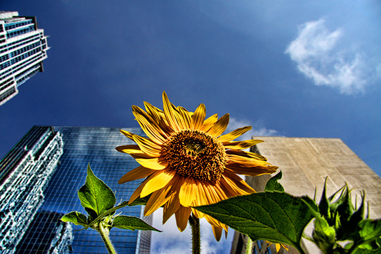 sunflower, cameron macmaster, froz'n motion, flickr, pool, contributed photography, toronto, city, life